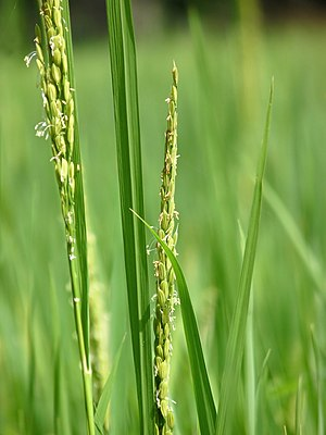 Oryza sativa of Kadavoor.jpg